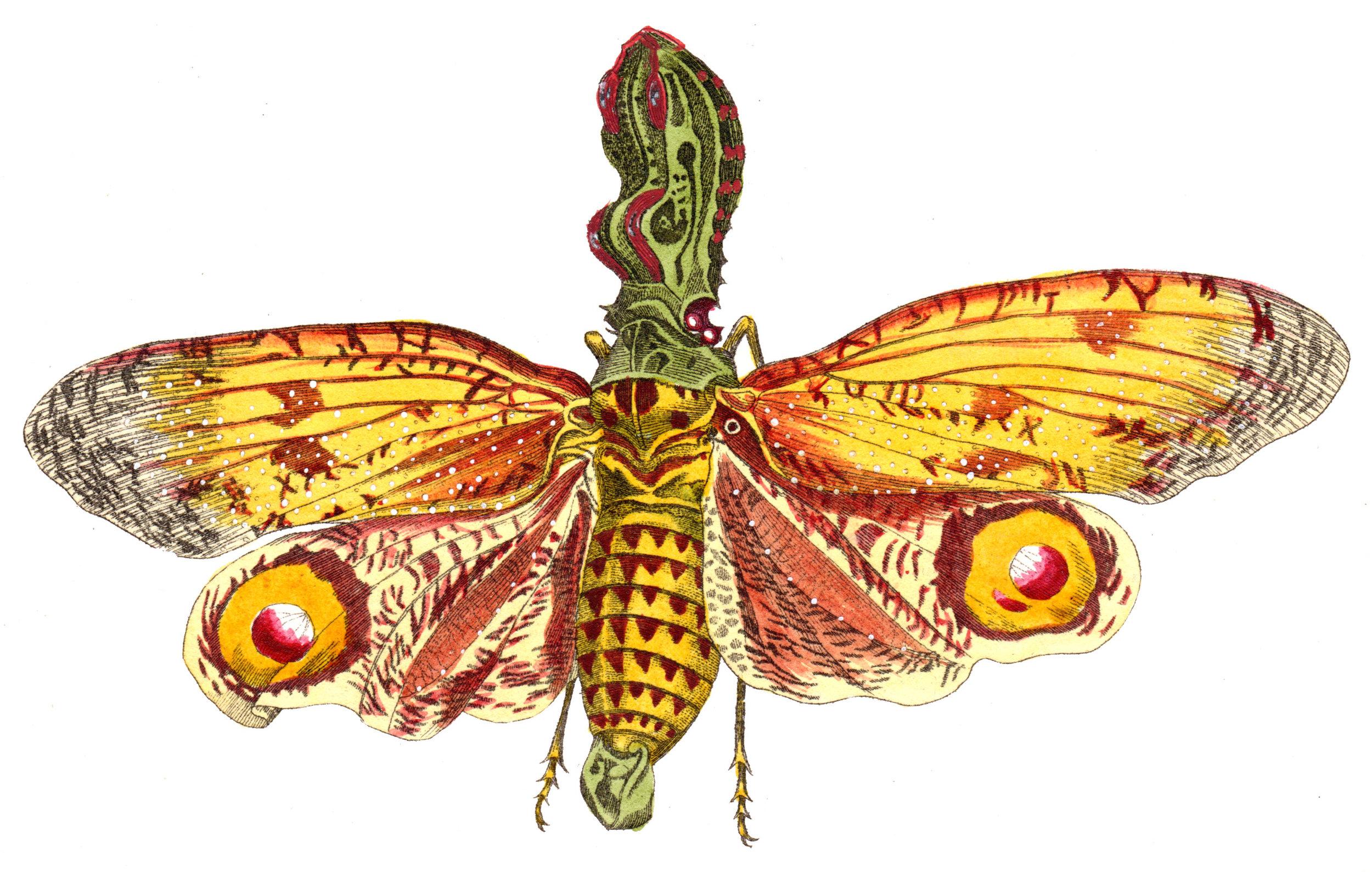 Shaw, George / Nodder, Frederick & Robert P. –Butterflies, Caterpillars, etc.