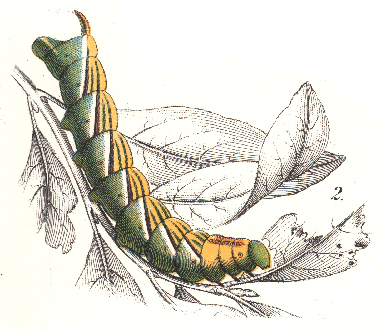 Wyman & Sons / Lloyd's Natural History –Butterflies, Moths, Caterpillars, etc.