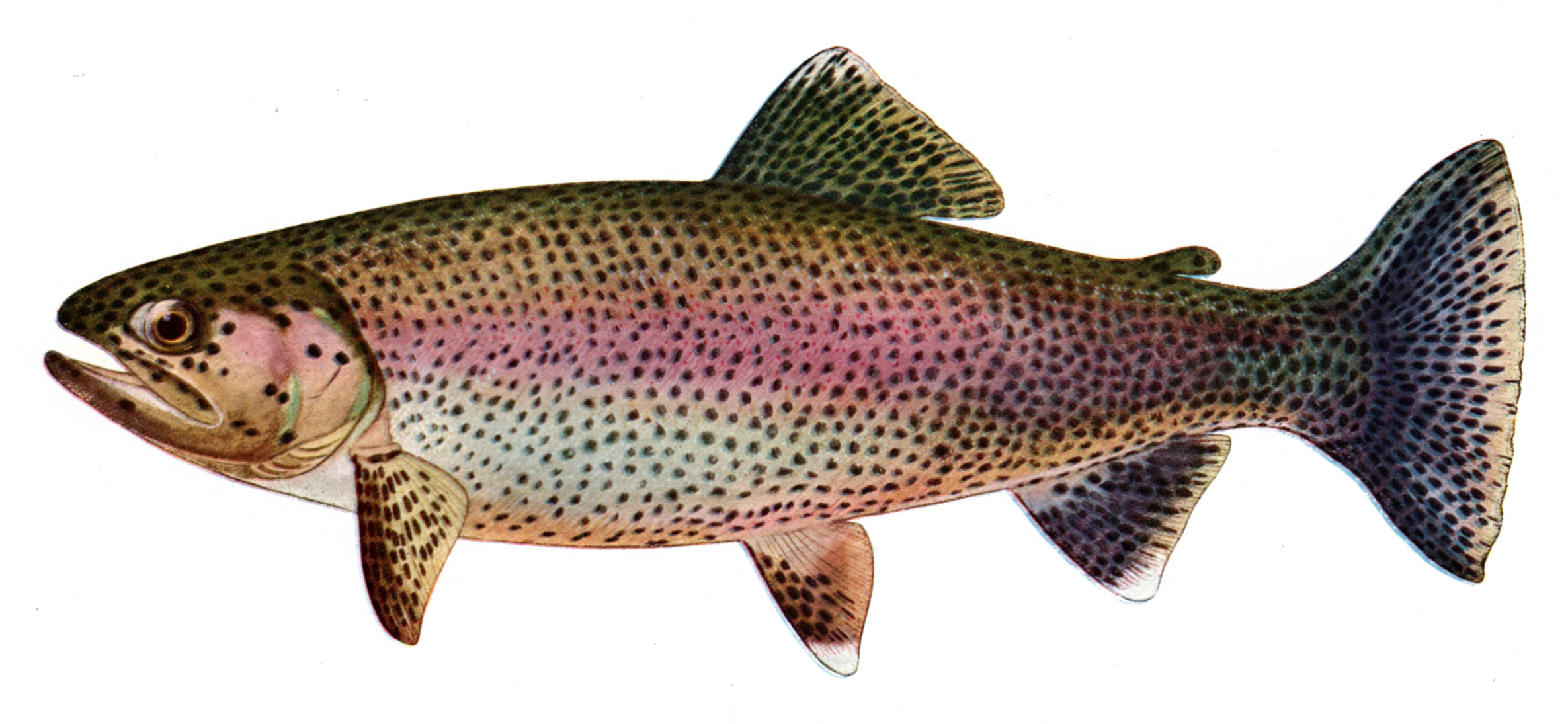 Charles Zibeon Southard Trout