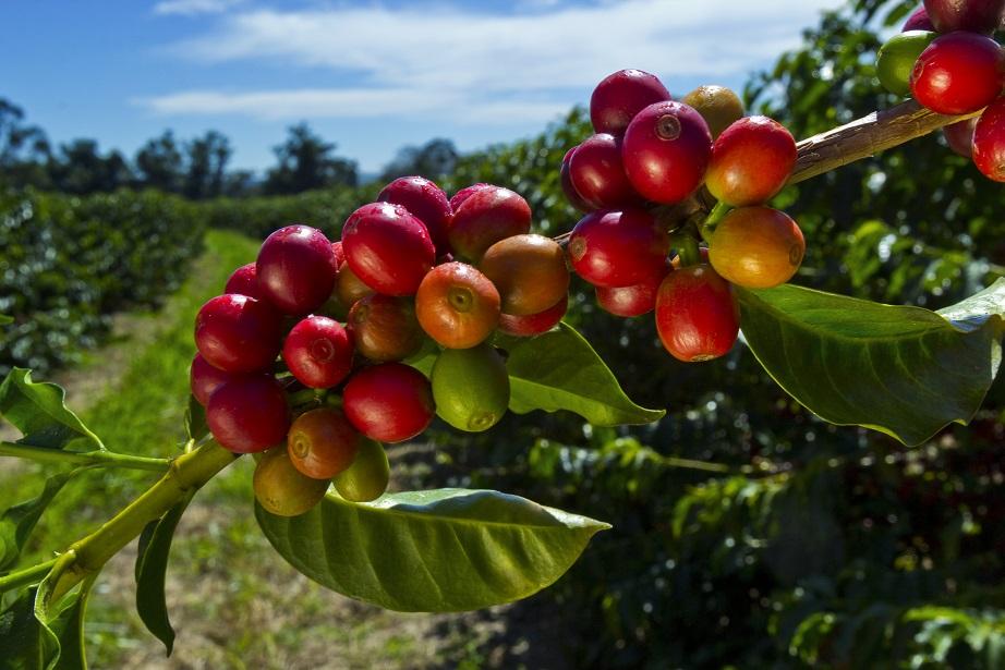 Kaffebär på en kaffebuske. Innehåller vanligtvis 2 gröna kaffebönor.