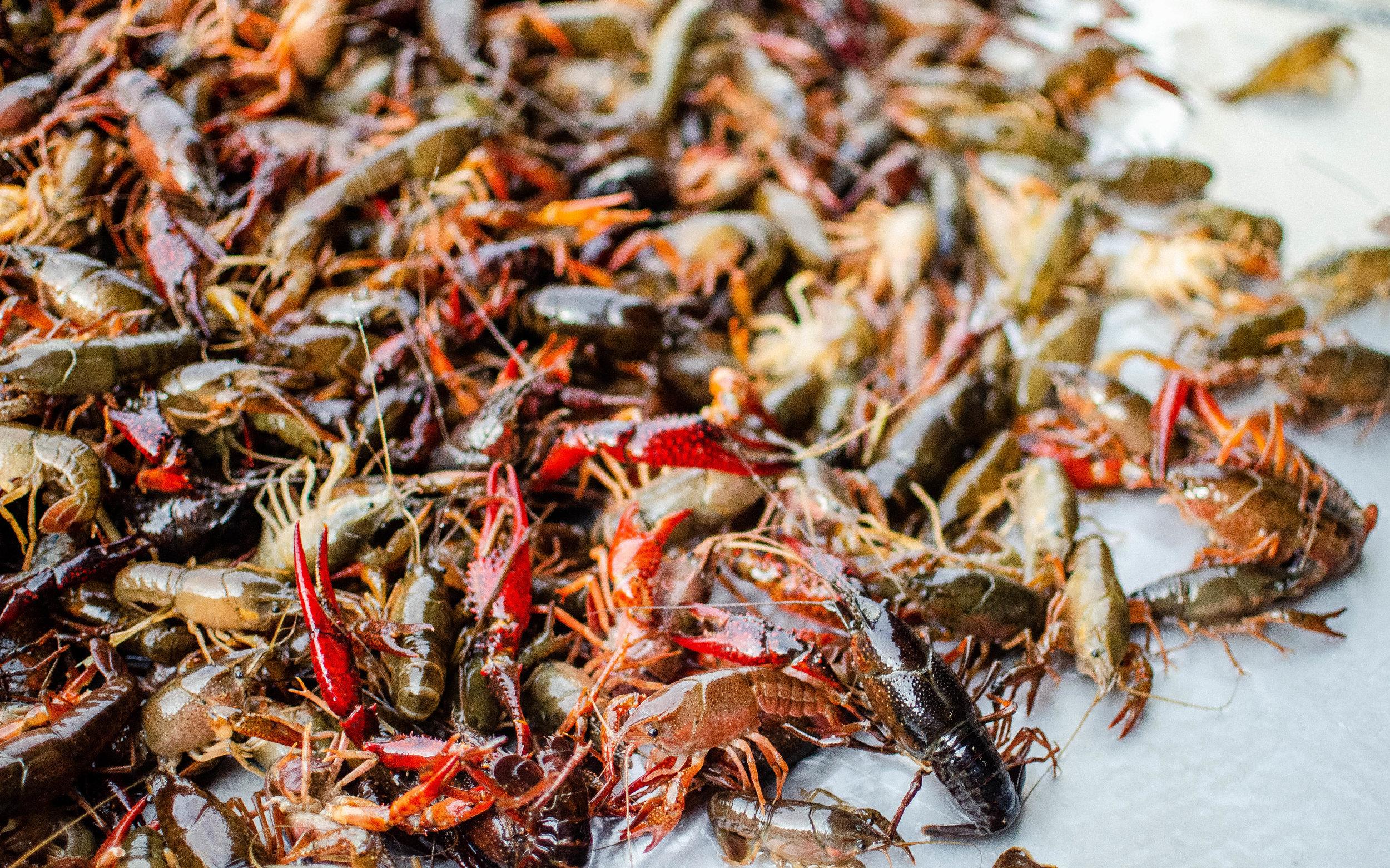 LIVE CRAWFISH — Southern Select Crawfish