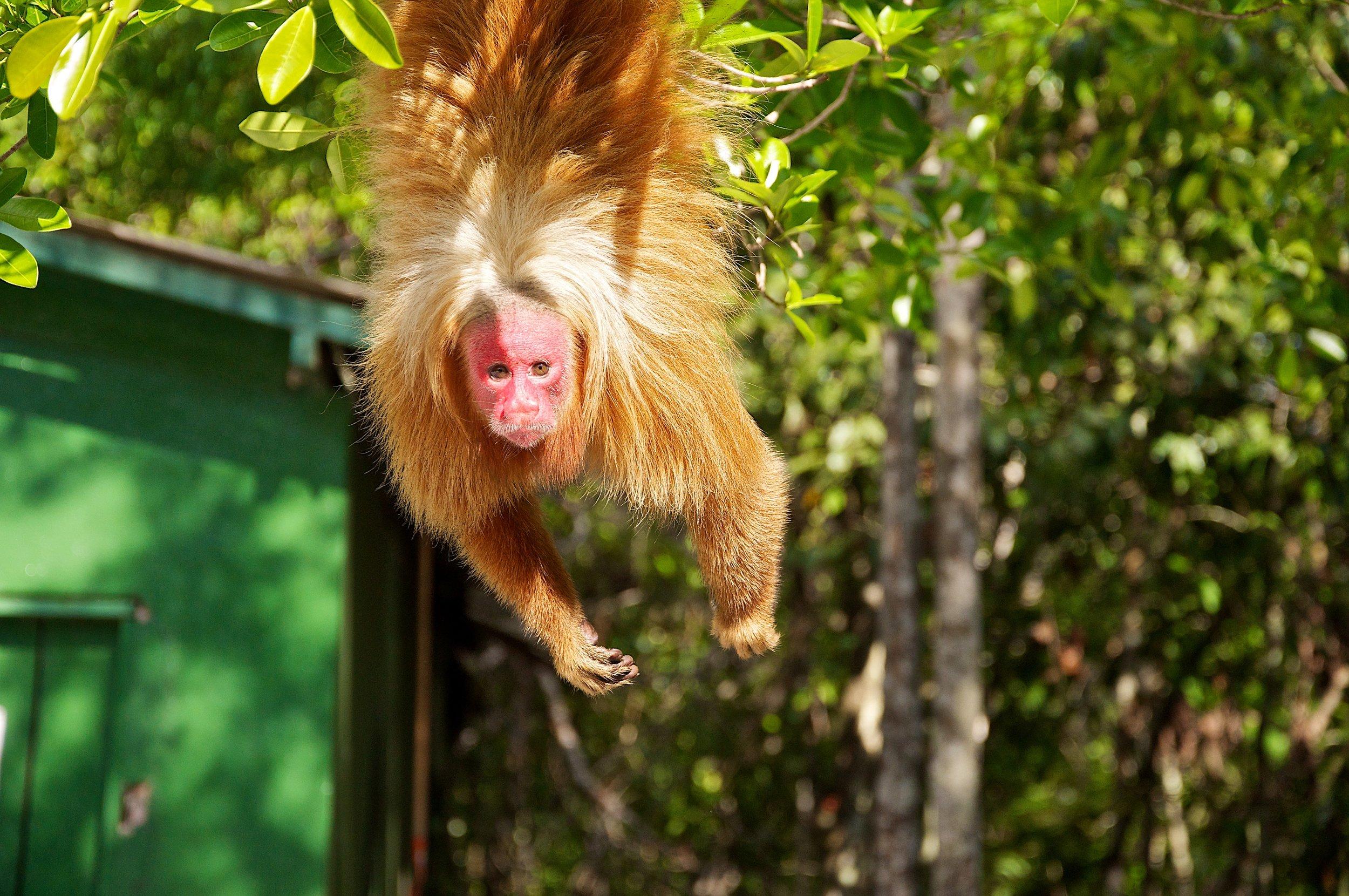 uakari_monkey_ecopark.jpg