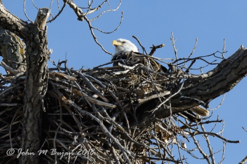 Bald Eagle + watermark-0670-2.jpg