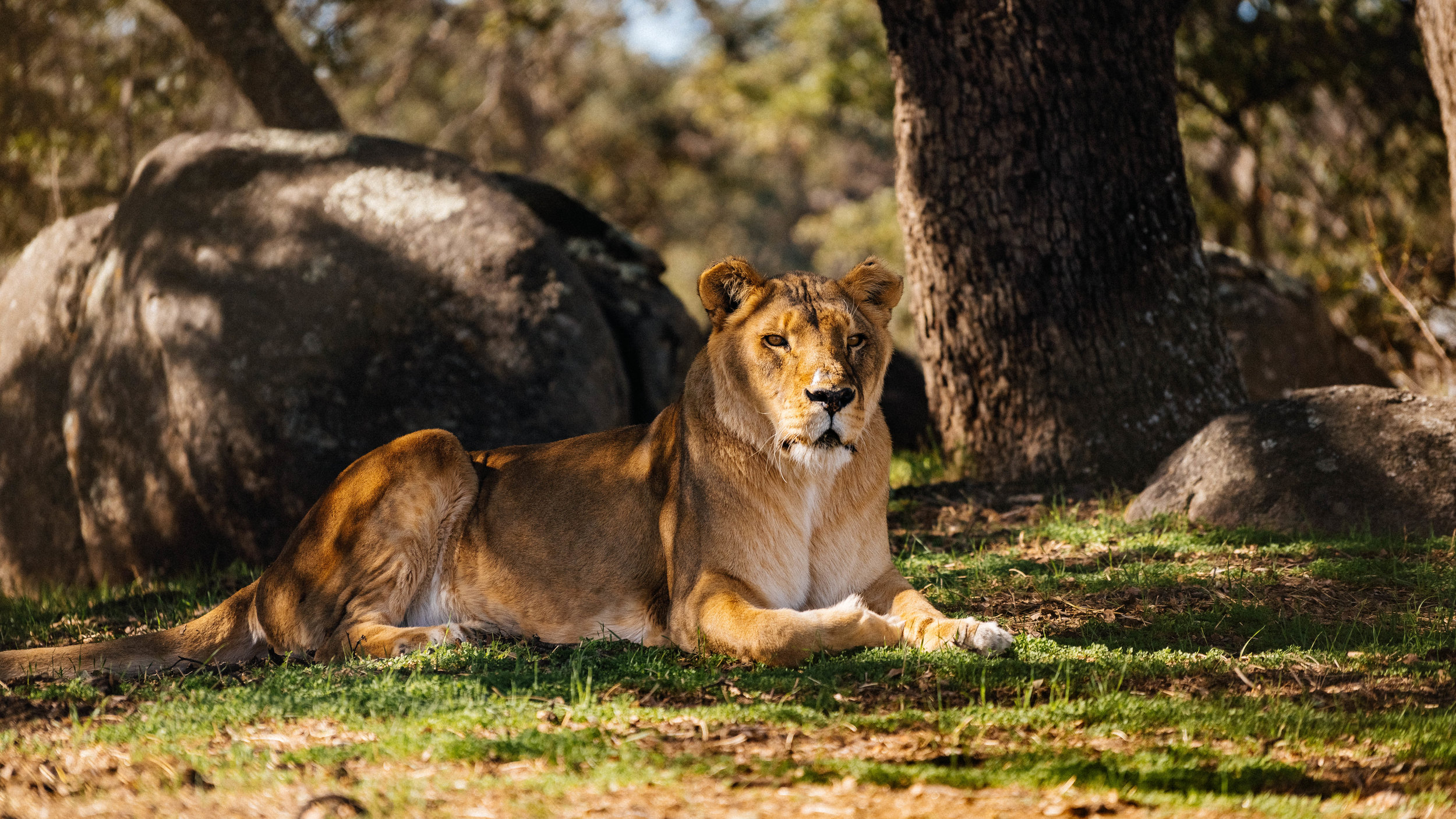 LIONS TIGERS & BEARS - Lions Tigers & Bears is dedicated to providing a safe haven to abused and abandoned exotic animals while inspiring an educational forum to end the exotic animal trade.