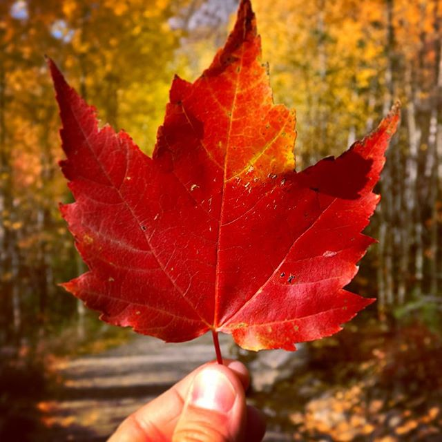 A bright red maple leaf always seems to have a calming effect 🍁 One good whiff of nature is enough to get through at least the next few days #Quebec #mapleleaf . . . . . . #BlogLovinTravels #ExploreTheWorld #LonelyPlanet #portrait #TheGlobeWanderer #travel #TravelStory #welltraveled #AroundTheWorld #AwesomeEarth #BeautifulDestinations #DiscoverEarth #gadv #GetOutdoors #IAmATraveler #igtravel #instapassport #LifeOfAdventure #LetsGoSomewhere #PostcardsFromTheWorld @quebec_travelers @quebecregion @tourismequebec #autumn #canada #explorecanada #fallleaves #quebec #quebecoriginal #tourcanada #discovertheroad #canada
