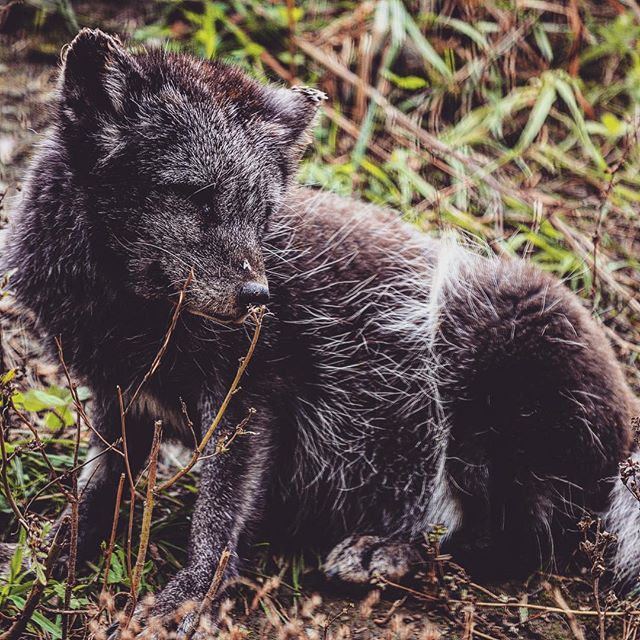 The highlight of the @zooecomuseum in Montréal were all 8 of the Arctic fox pups! 💛 They were really playful for about 5 minutes before they wore themselves out and decided it was nap time 😴 I could've stayed there all afternoon . . . . . . @quebec_travelers @quebecregion @tourismequebec #autumn #canada #explorecanada #quebec #quebecoriginal #tourcanada #livemontreal #montreal #montrealworld #mtlmoments #quebec #roadtrip #thisMTL #topmontrealphoto #tourcanada #arctic #wolf #puppy #animal #wildlife #wildlifephoto #wildlifephotography #wildlifeplanet #animalkingdom #nature #ecomuseum #montrealdogs #montrealcity #quebecregion #zoo