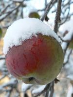 Snowy+Apple.jpg