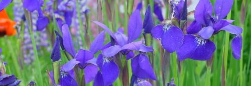 skinny+iris.jpg