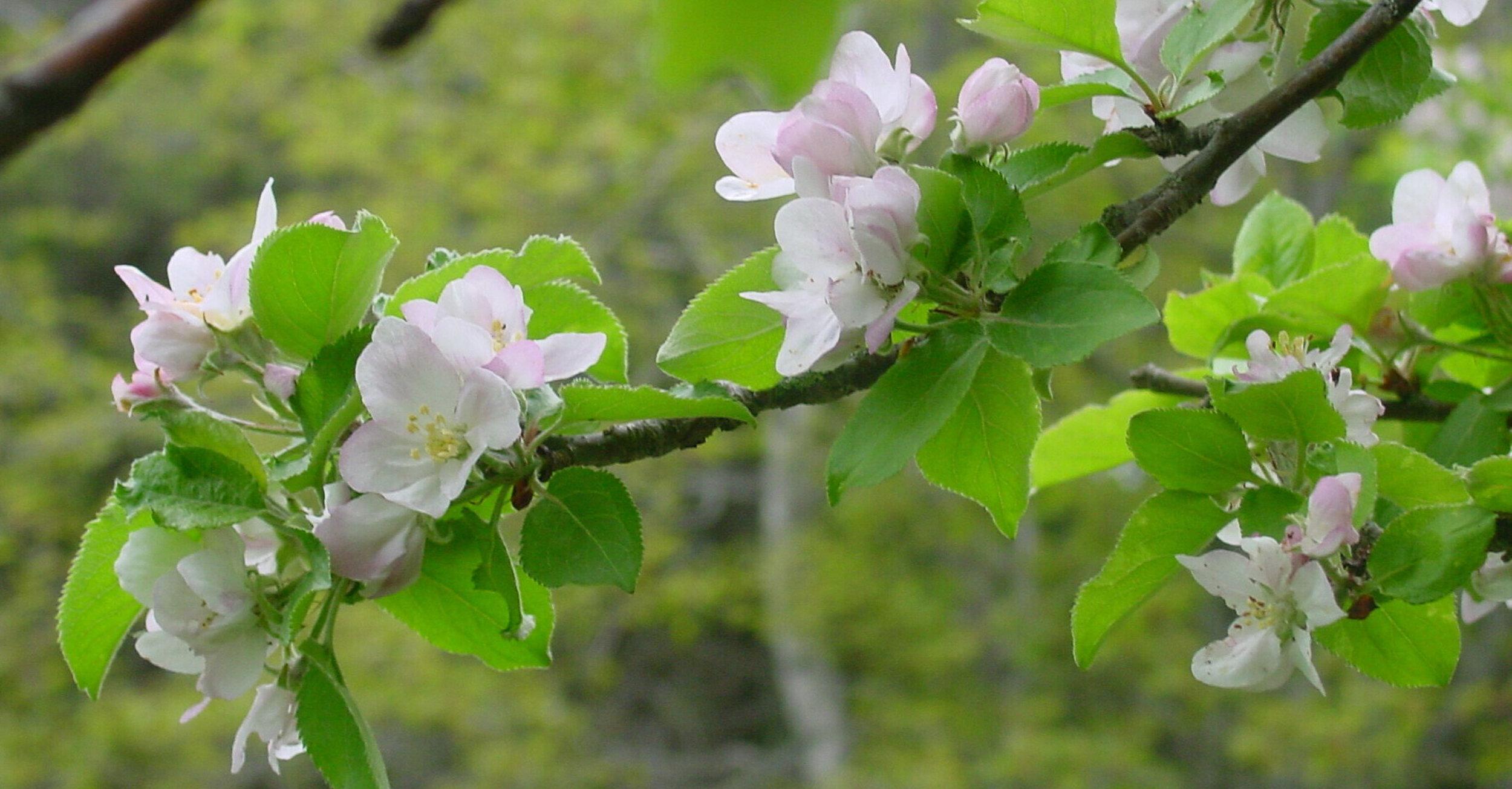 Apple+blossoms.jpg