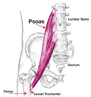 Psoas-Anotomical-diagram.jpg