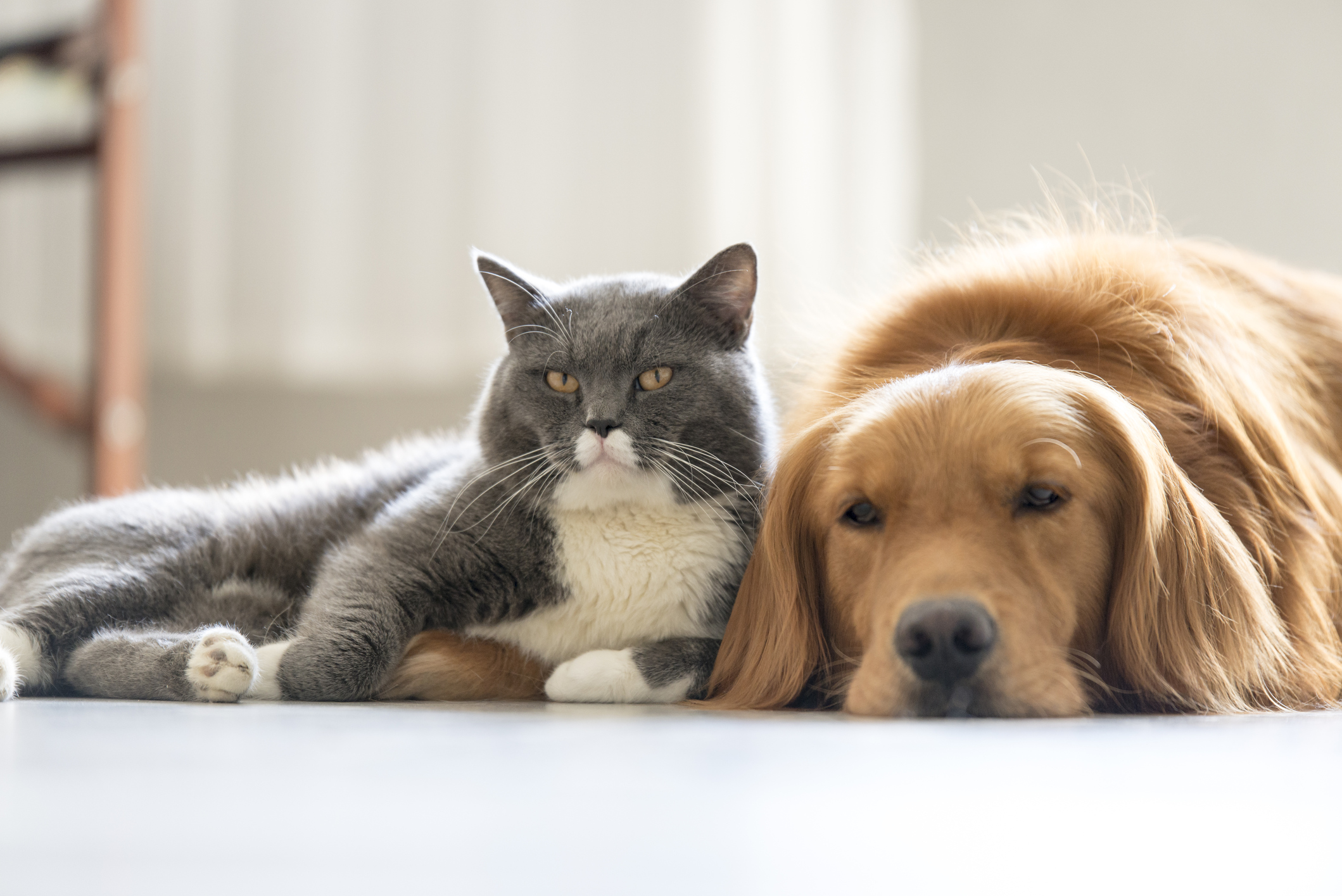 Brown dog and gray cat laying on ground.