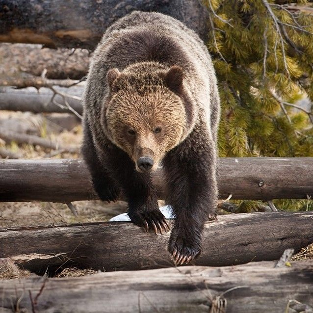 Bikes & Bears tomorrow!⠀ Join us in the yard for an evening of skill building and education centered around bears! Bring your bike to hone in your skills deploying bear spray on a mechanical charging bear. Put on by the Greater Yellowstone Coalition, Joyvagen, and Wyoming Game and Fish Department.⠀ ⠀ Wednesday, August 21; 6:00 - 9:00 PM⠀ Joyvagen Bike Shop - 901 12th Street, Cody, WY 82414⠀ ⠀ Snacks are provided, bring your own beer!⠀ This event is free and open to the public.⠀ ⠀ Questions? E-mail Wyoming Conservation Associate Emily Reed at emilyreed@greateryellowstone.org.⠀ ⠀ Photo: Cindy Goeddel