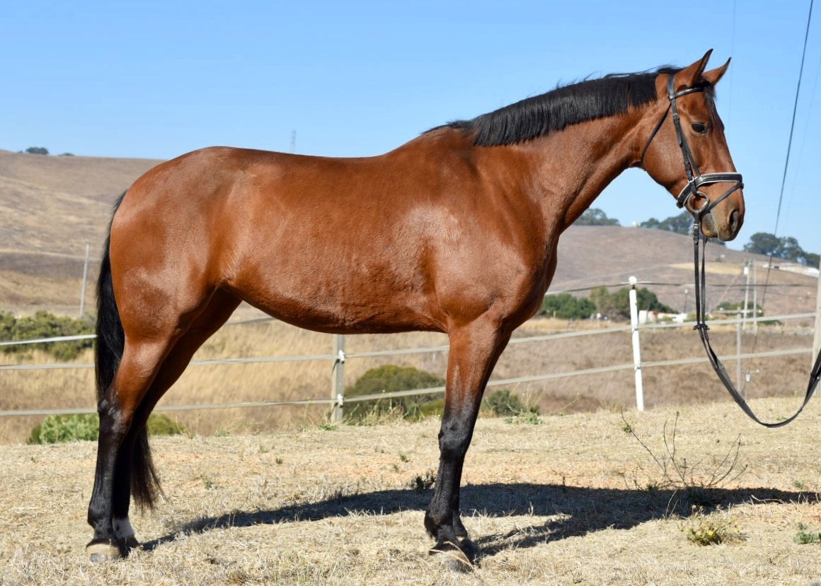 Diva - 9 Year old Friesian Oldenburg Mare — $10,000 or best offer