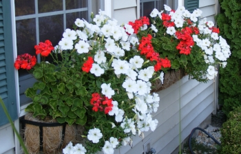 The window boxes have spilled over.JPG