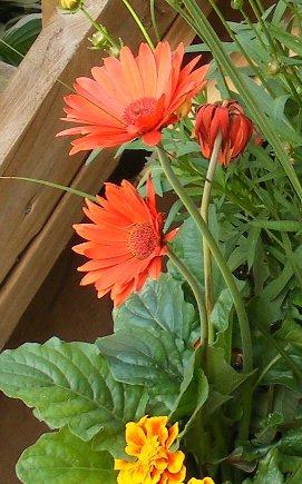 Gerbera Daisy by tog.jpg