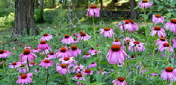 Coneflower - Hosta are wonderful for shade gardens, adding a great variety of texture and color where shade makes it difficult to grow flowering plants. Late spring brings tall stalks of lily like flowers of white, blue or lavender. Most hosta require little or no care, but each variety has different preferences. Make sure you select what you really need for your planting site to ensure required care is minimal. Some tolerate dry shade, some prefer moist shade, some will put up with full sun and others will wilt under too much sun. Most rarely need to be divided unless you want to produce more plants, some multiply on their own quite rapidly.