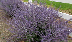 Russian sage - Russian Sage Perovskia is excellent for neglected areas. The shrub like perennial produces fragrant silver blue stalks of tiny blue lavender flowers in mid summer. Plant it where nothing else will grow, where you can't reach it with a hose, where it bakes in the sun all day, and it won't mind a bit.