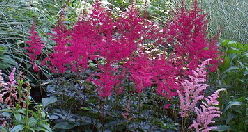 astilbe - Astilbe are an elegant flowering shade perennial. Most prefer moist soil, The chinensis is much more tolerant of variable soil moisture and heat. 'Rheinland' is probably about the easiest of all to grow. Astilbe can live up to 10 years if you plant it in preferred conditions. Every few years you may want to divide to maintain good health and blooming. Deadheading some varieties will encourage a second flush of blooms.