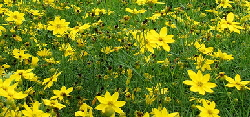 coreopsis - Coreopsis are not bothered by heat or dry soil, so neglected areas of your landscape are ideal locations for these bright and cheery blooms. These native perennial wildflowers are tough and hardy, the only thing they don't care for is consistently wet soil. Full sun encourages the most prolific blooming and fertilizer is not necessary. 'Moonbeam' and 'Zagreb' are the best for low maintenance and prolific blooming.