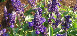salvia - Salvia is easy to grow and tolerant of heat and drought. It blooms from midsummer to fall with spires of pink or lavender blue mini flowers. Deadheading is unnecessary unless you prefer to neaten up the plant after blooming. Occasional division may benefit the plant.
