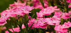 pinks - Pinks, or Dianthus are in general very low maintenance when planted in full sun and well drained soil. Occasional water and division every few years is about all most of them need. But there are hundreds of different pinks and they do not all have the same needs. The species plants are tough, easy and require virtually no care, look for Fringed Pinks 'Sternberg's Pink' or 'Crimsonia', Maiden Pinks 'Brilliant' or 'Arctic Fire', Cheddar Pinks 'Bath's Pink' or 'Firewitch'.