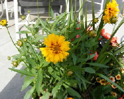 Coreopsis-and-Annuals by Midwest Gardening.jpg