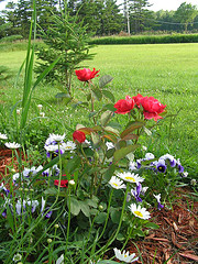 daisies, pansies and Morden Fireglow roses.jpg