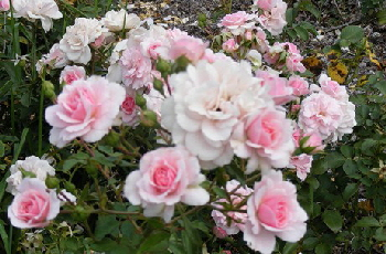 Midwest Gardening How Far Apart To Plant Roses