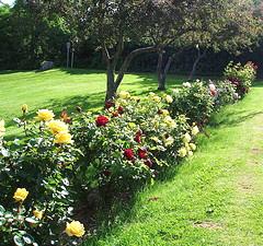 Floribunda-rose-hedge.jpg