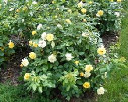 Tequila-Floribunda-Rose-by-Midwest Gardening.jpg