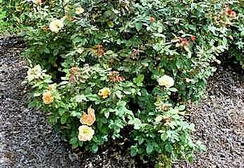 About Face Grandiflora Rose by Midwest Gardening.jpg