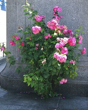 When you are agonizing over finding the perfect spot for your rose, remember - roses are tough!  This one is growing out of a crack in the sidewalk! -