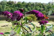 Butterfly-Bush-by-Karen-Bryan.jpg