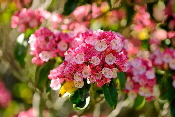 Candy-Link-Mountain-laurel-by-Eric-Kilby.jpg