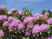 Rhododendron-by-Kalle-Scharlund.jpg