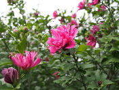 Rose-of-Sharon-by-FD-Richards.jpg