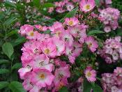 Shrub-Roses-by-T-Kiya.jpg