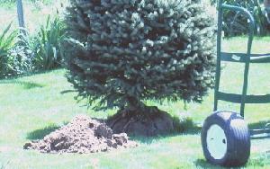 Planting-B-B-evergreen.jpg