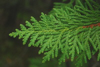 Arborvitae-flat-leaf-needles.jpg