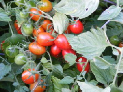 Grape-Tomato by Midwest Gardening.jpg