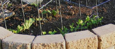 Beans-and-Pea-sprouts-by Midwest Gardening