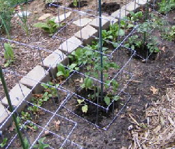 Tomato-spacing by Midwest Gardening.jpg