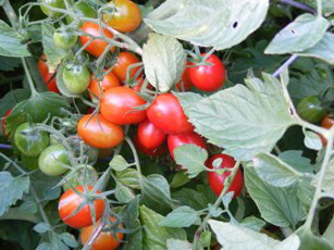 Grape-Tomato_by Midwest Gardening.jpg