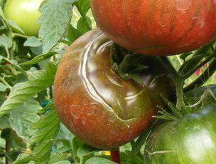 Tomato-cracked by Midwest Gardening.jpg