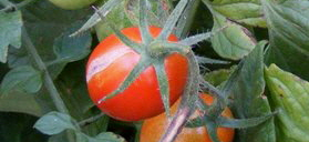 Cracked-Tomato by Midwest Gardening.jpg