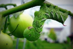 Tomato-Hornworm-by-Chris-Bede.jpg