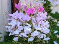 Cleome-by-Tatters.jpg