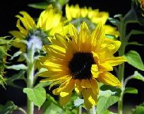 Sunflower-by-marcmo.jpg