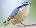 Red-breasted-Nuthatch-by-Henry-McLin.jpg