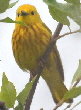 Yellow-Warbler-by-Ellen-and-Tony.jpg